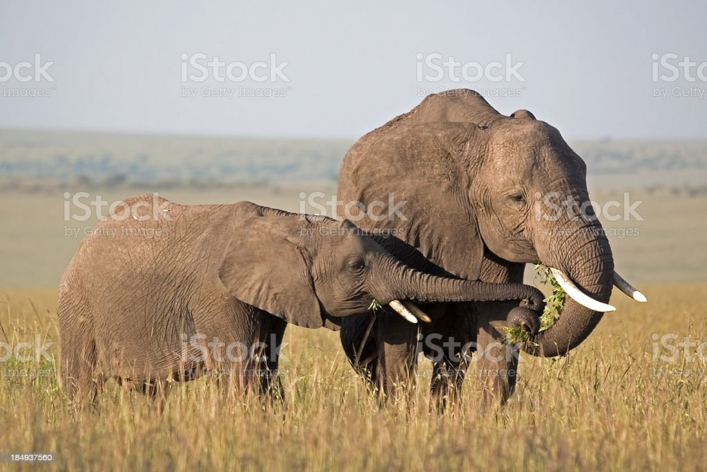 Elephant stealing food royalty-free stock photo
