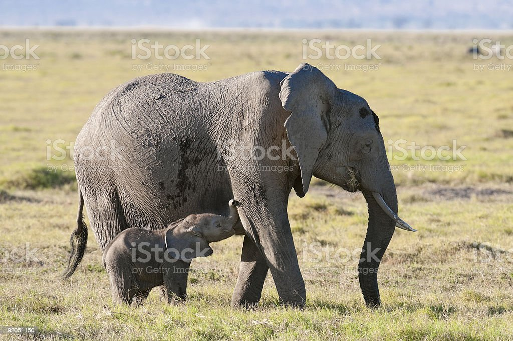 elephant suckle her calf royalty-free stock photo