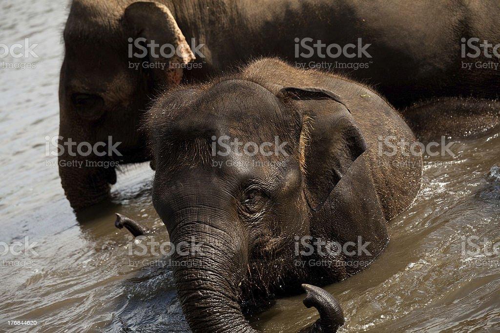 Elephant Swim royalty-free stock photo
