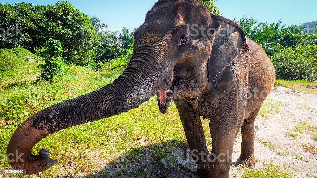 Elephant trumpets stock photo