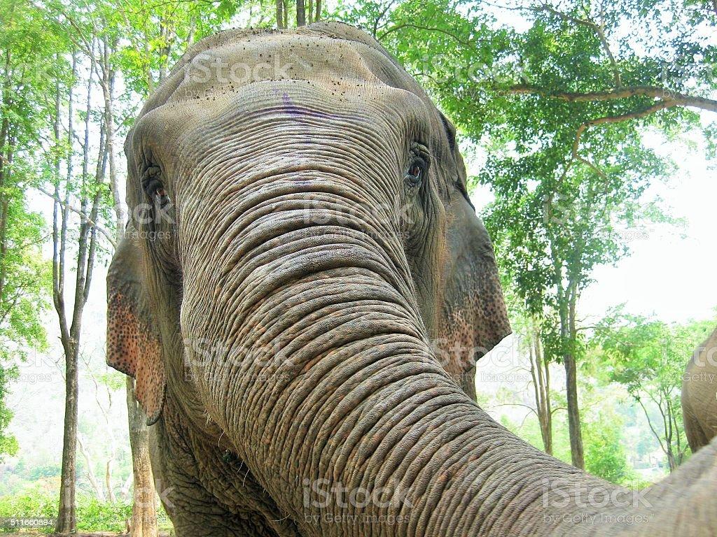 Elephant Trunk stock photo