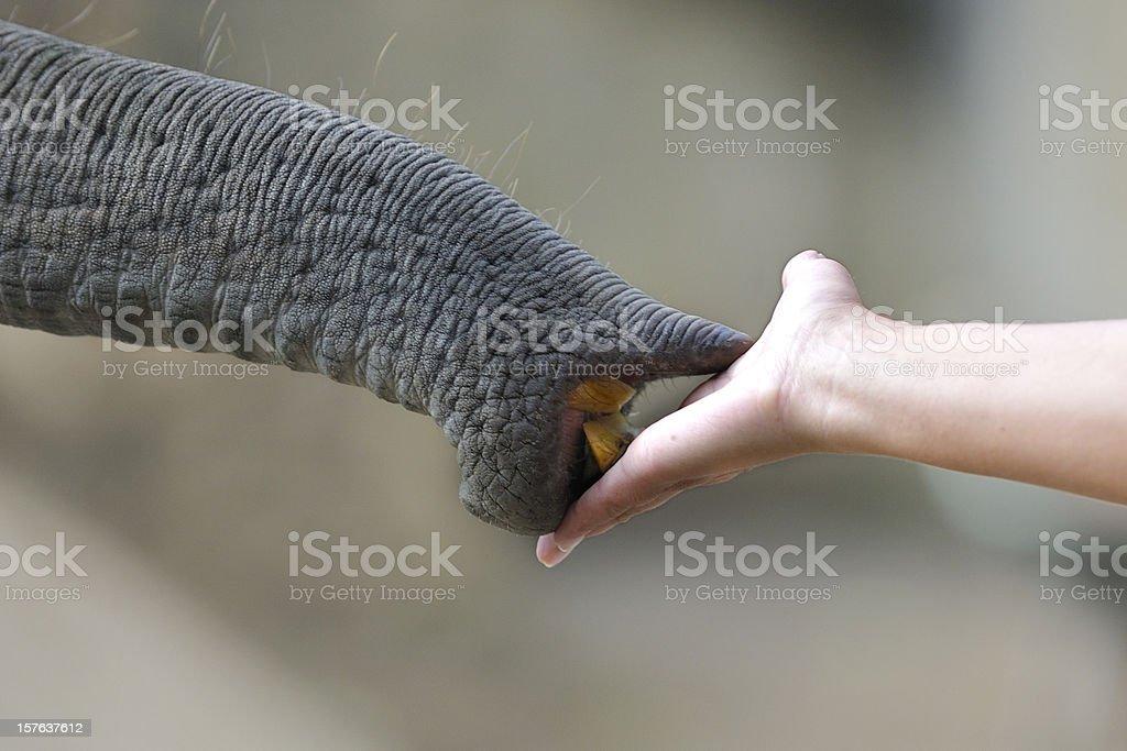 Elephant Trunk takes Food stock photo