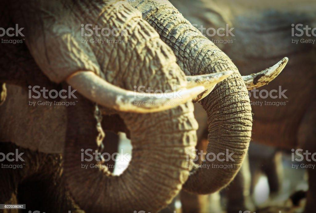 Elephant Tusks stock photo