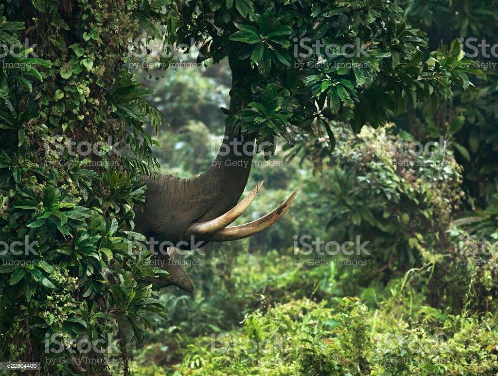 Elephant using his trunk, West Bengal, India stock photo
