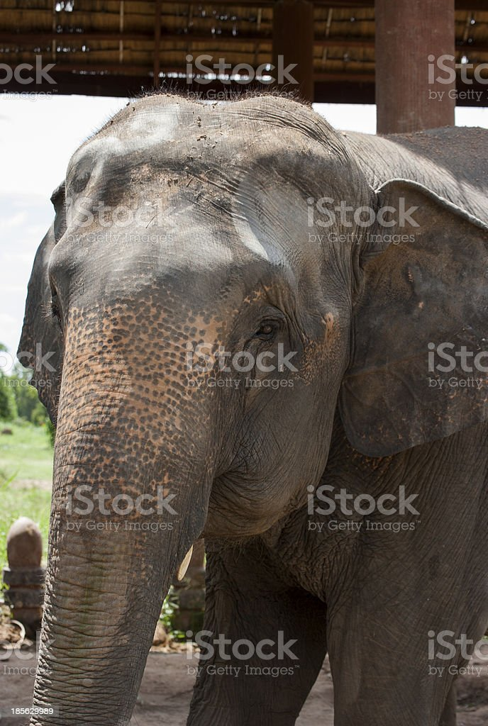 Elephant Village (Study Center) Surin Thailand royalty-free stock photo