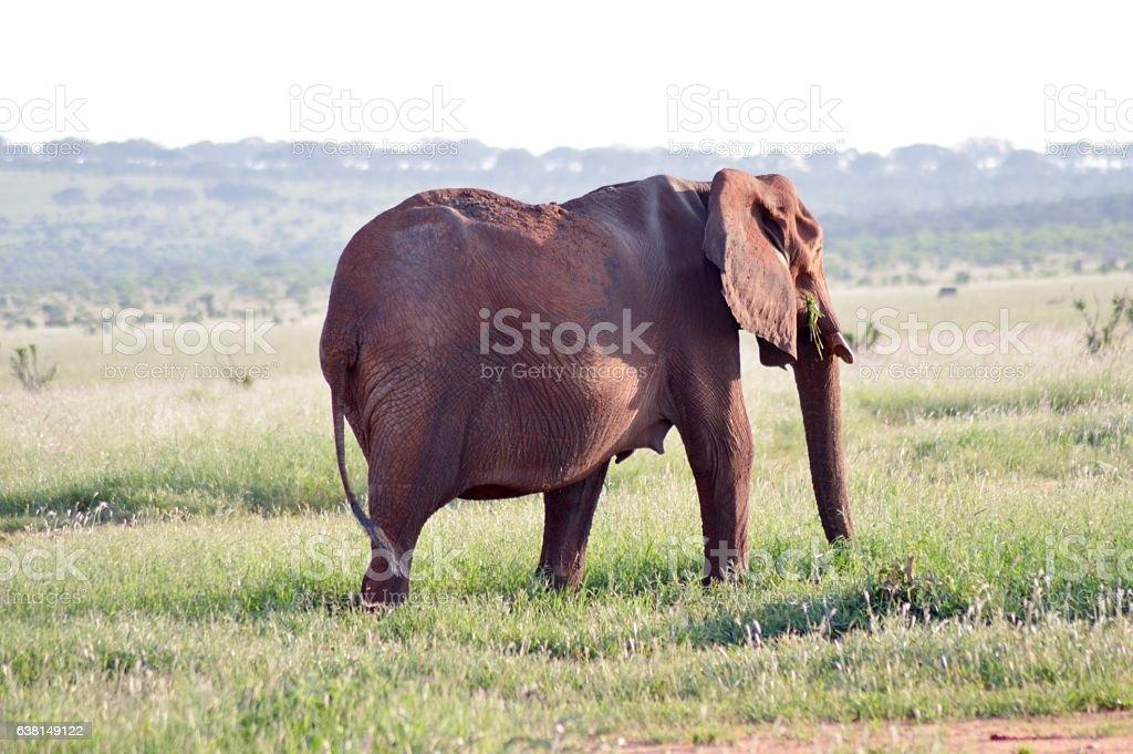 Elephant walking by grazing stock photo