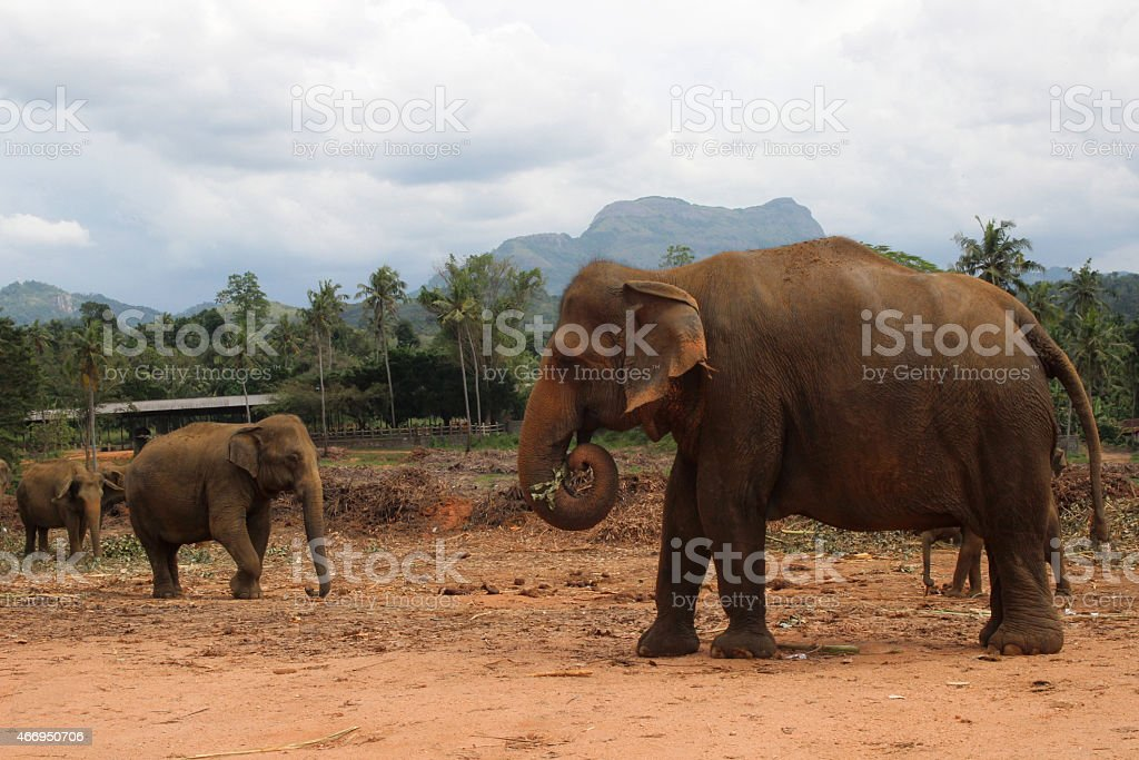 elephant walking in the jungle on the mountain and trees background royalty-free stock photo