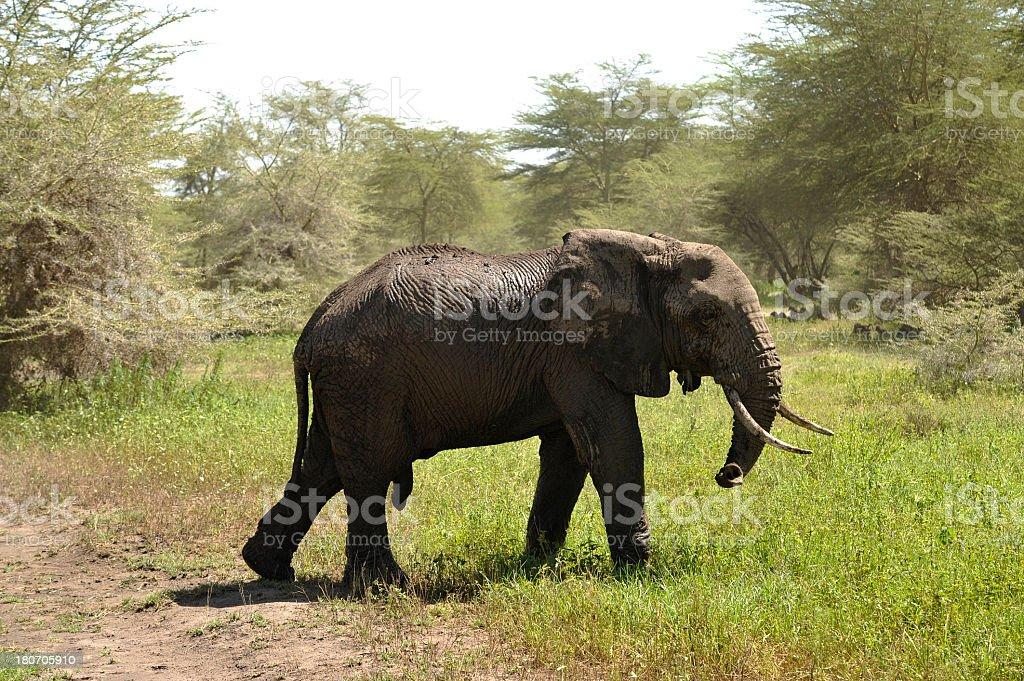 Elephant walking in the savannah royalty-free stock photo