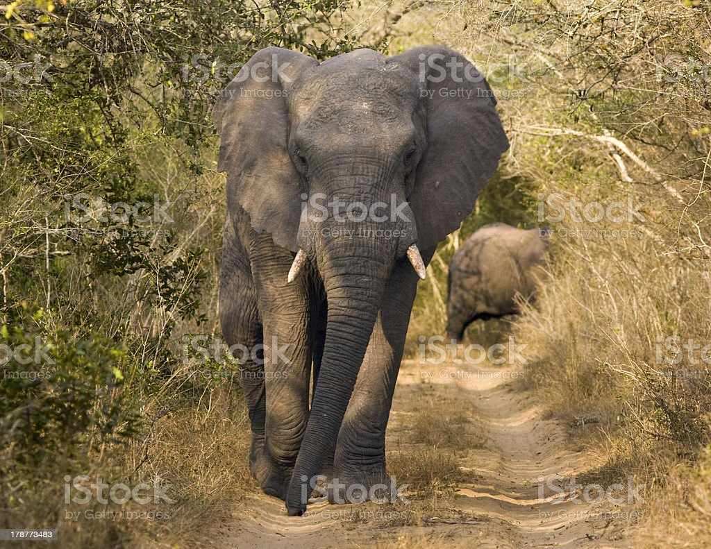 Elephant Walking On Dirt Road royalty-free stock photo