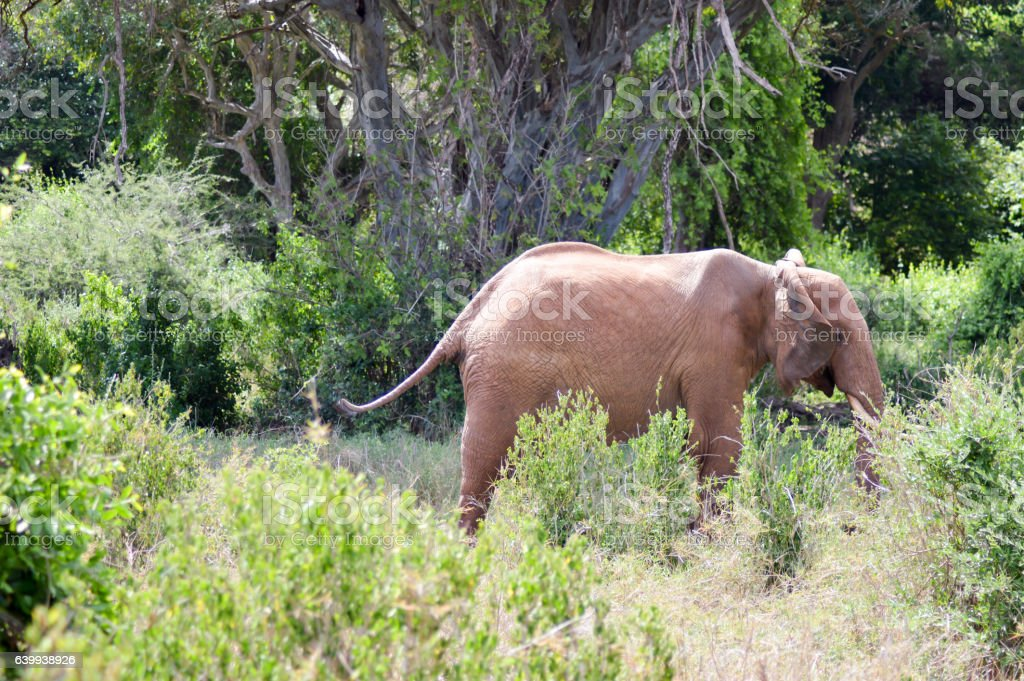 Elephant walking through stock photo