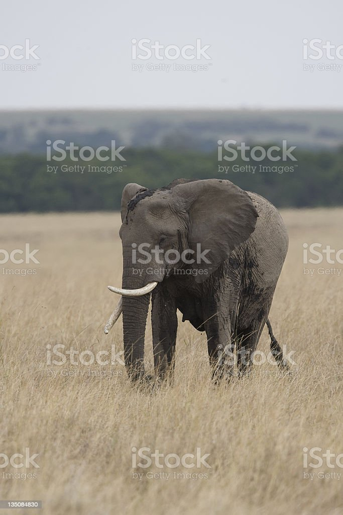 Éléphant marchant sur la Masai Mara photo libre de droits