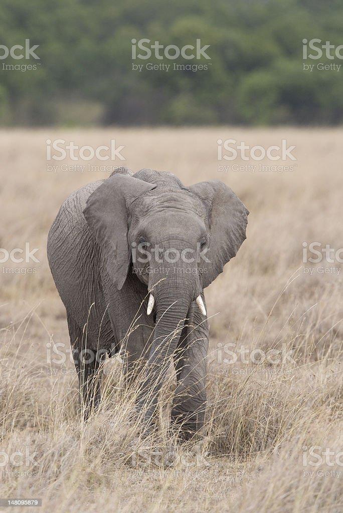 Éléphant marchant dans les plaines du Masaï Mara photo libre de droits