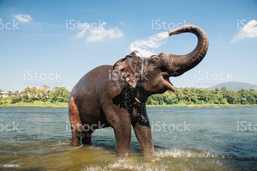 Elephant washing in the river royalty-free stock photo
