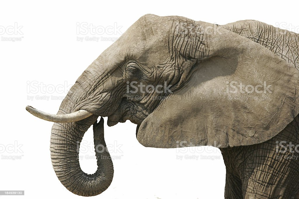 Elephant white background stock photo