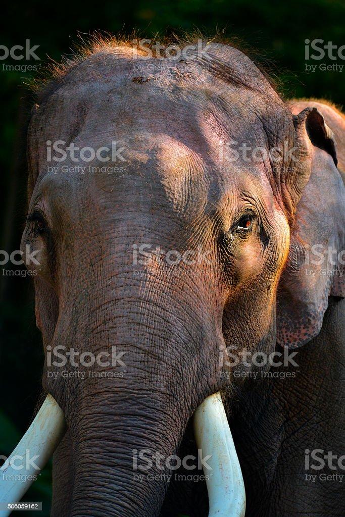 Elephant wildlife Thailand stock photo