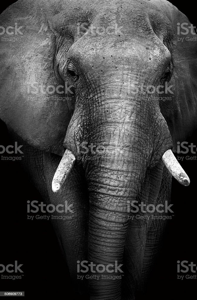 Elephant with a dark background royalty-free stock photo