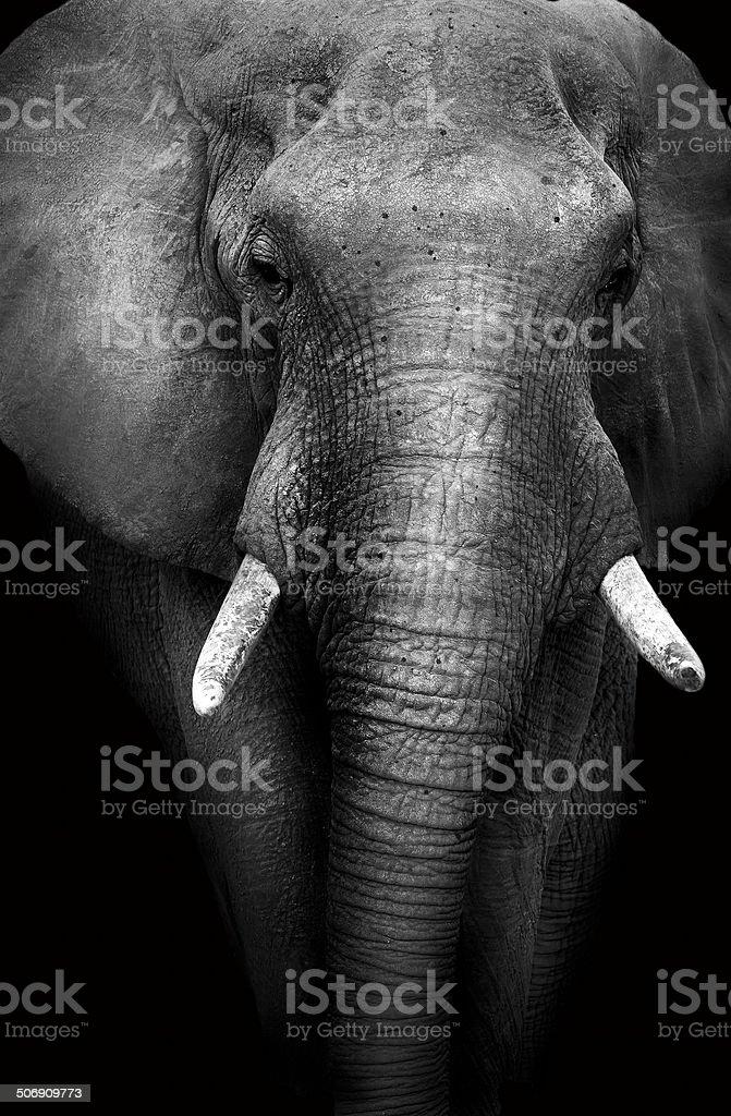 Elephant with a dark background stock photo