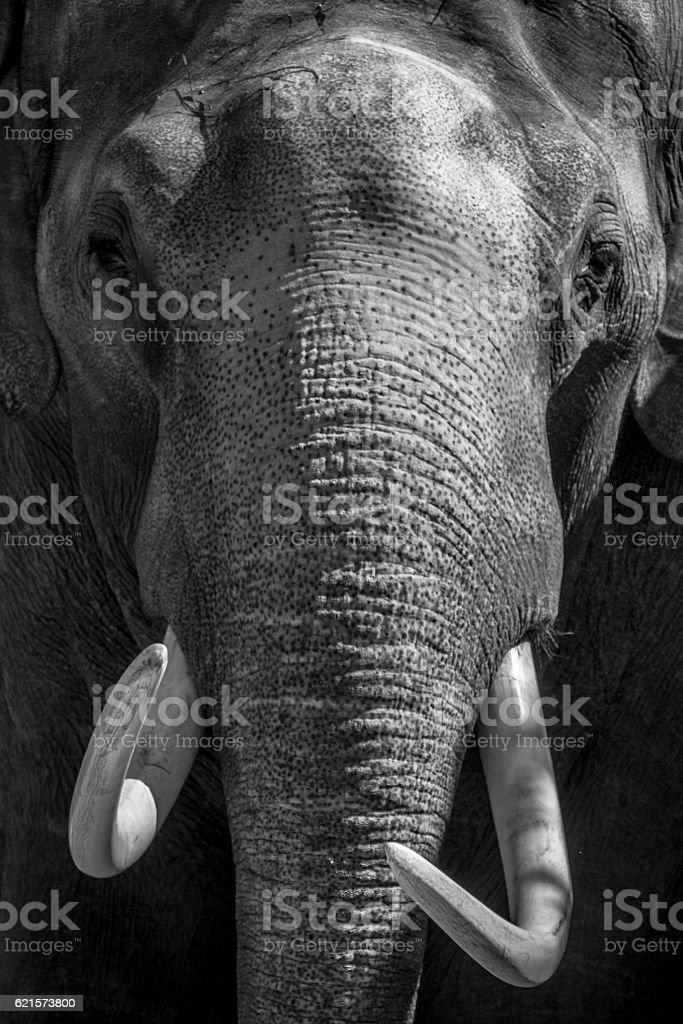 Elephant with large tusks close up in black and white stock photo