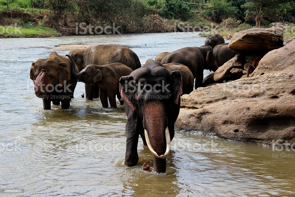 elephant with large tusks standing at the river royalty-free stock photo