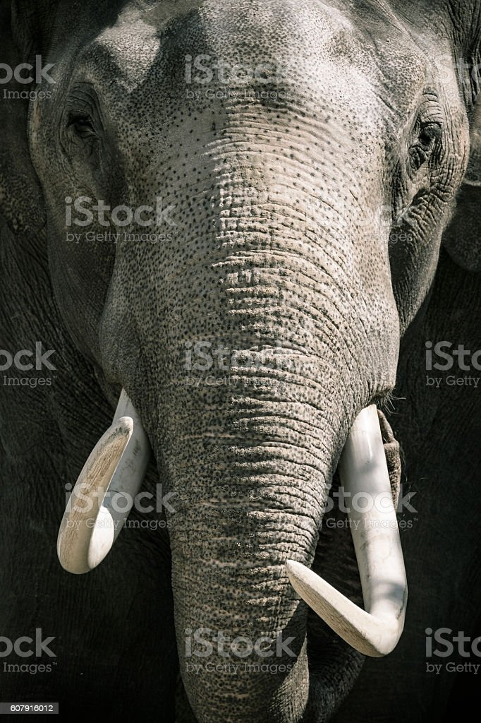 Elephant with tusks looking directly at the camera stock photo