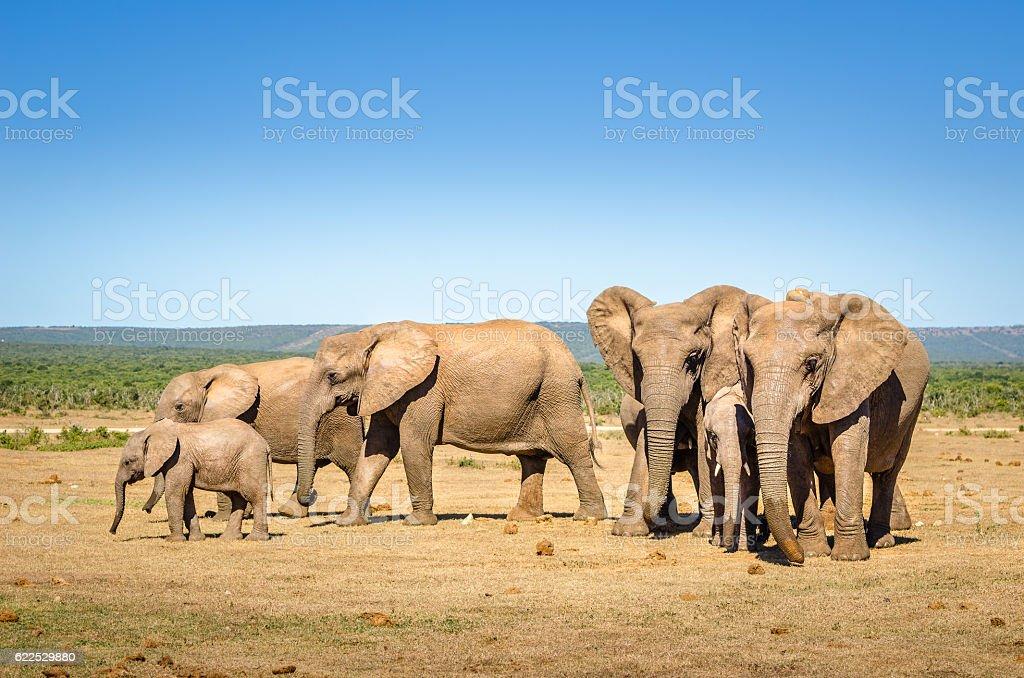 Elephants, Addo elephants park, South Africa stock photo
