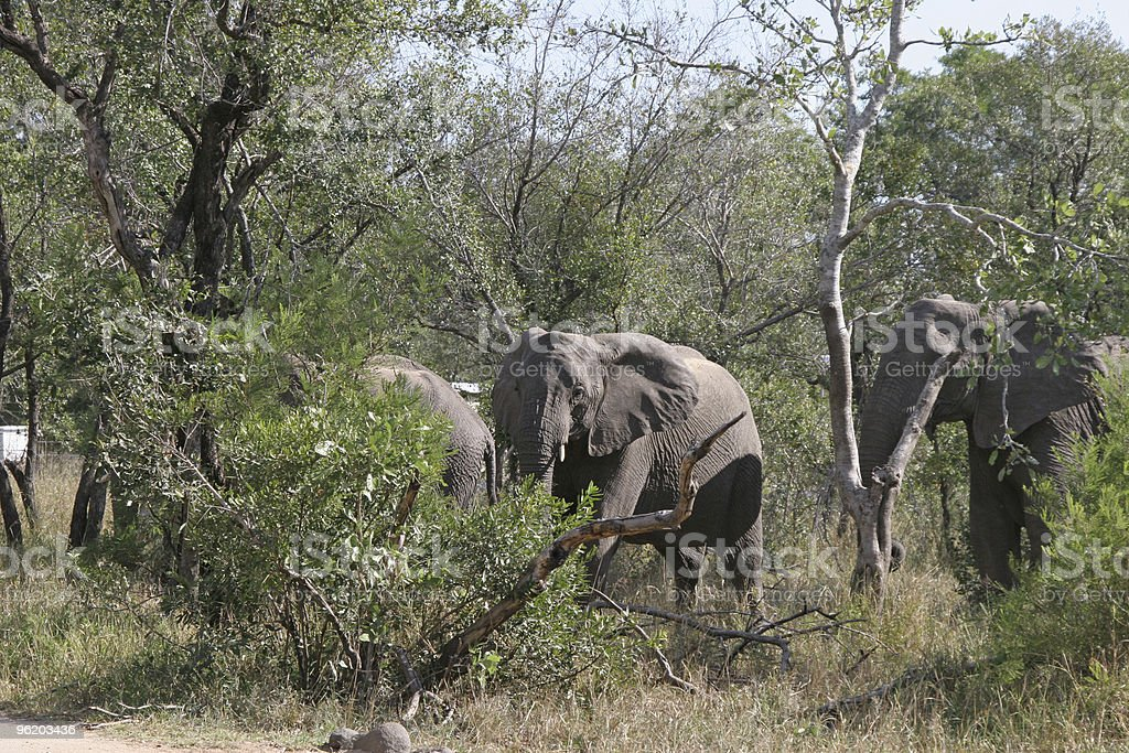 Elephants advance royalty-free stock photo