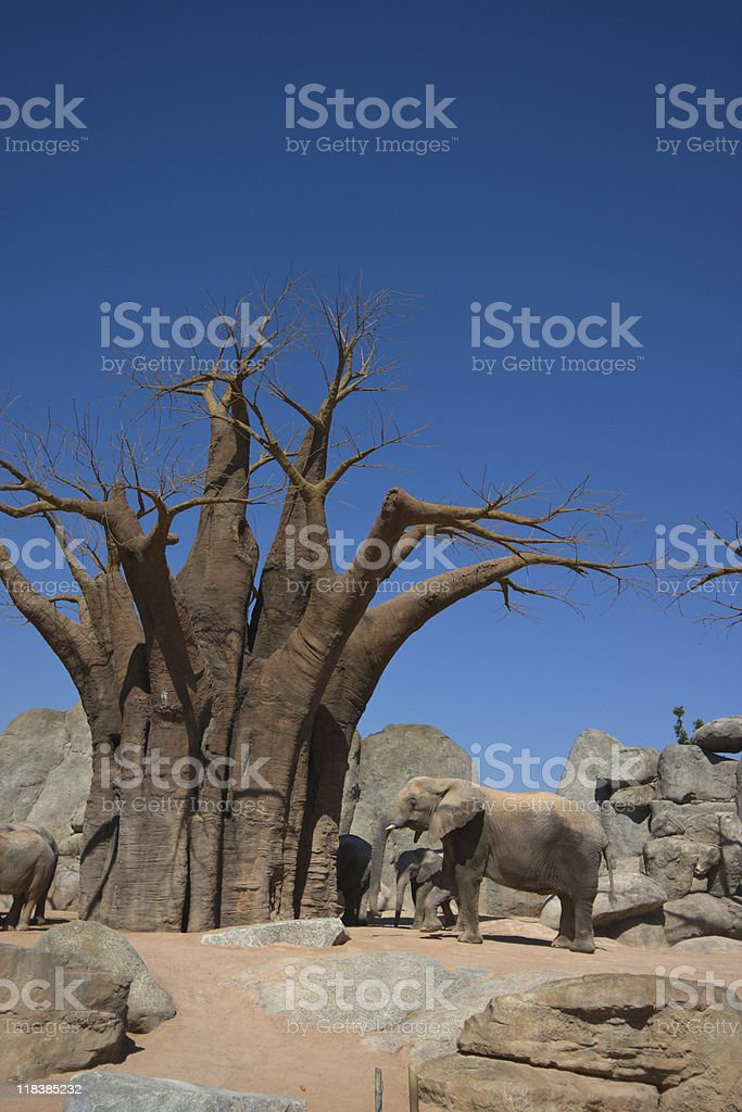 Elephants and baobab stock photo
