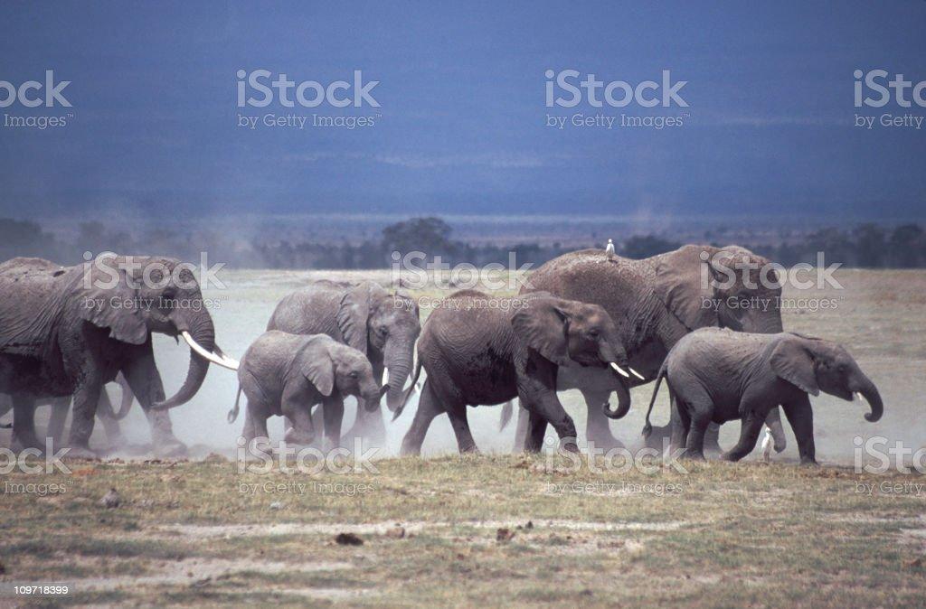 Elephants and dust, Amboseli royalty-free stock photo