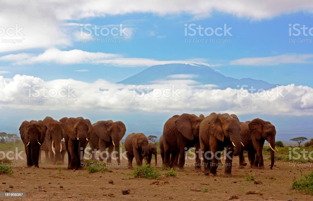 Elephants and Kilimanjaro royalty-free stock photo