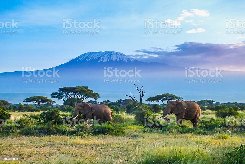 Elephants and Kilimanjaro stock photo