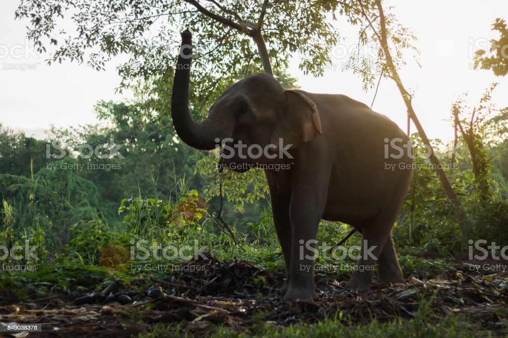 Elephants are looking for food in the morning. stock photo