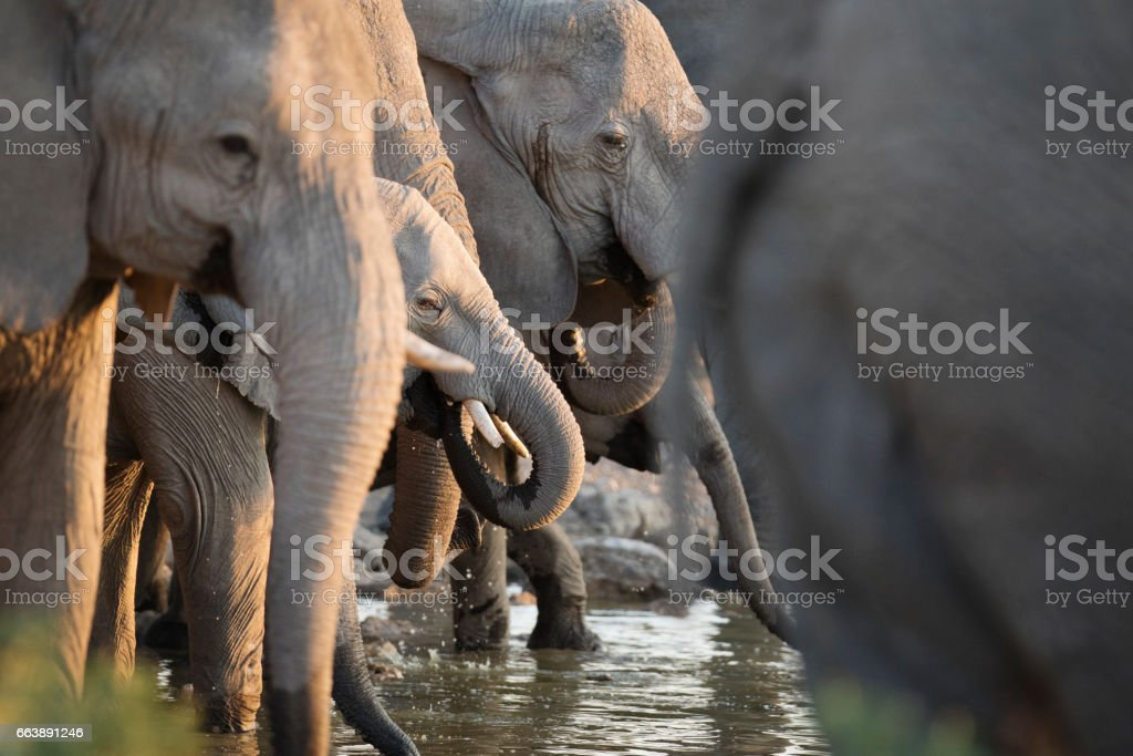 Elephants at a water hole stock photo