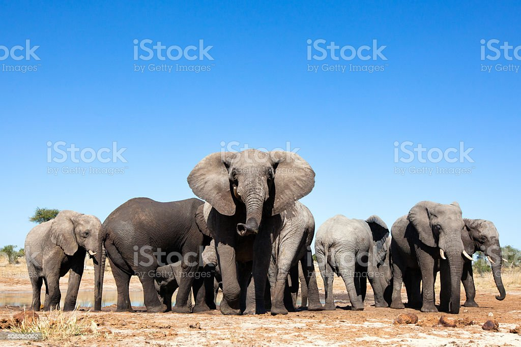 Elephants at a waterhole stock photo