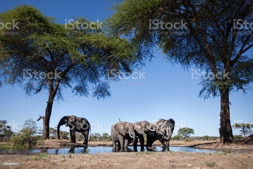Elephants at a waterhole stock photo