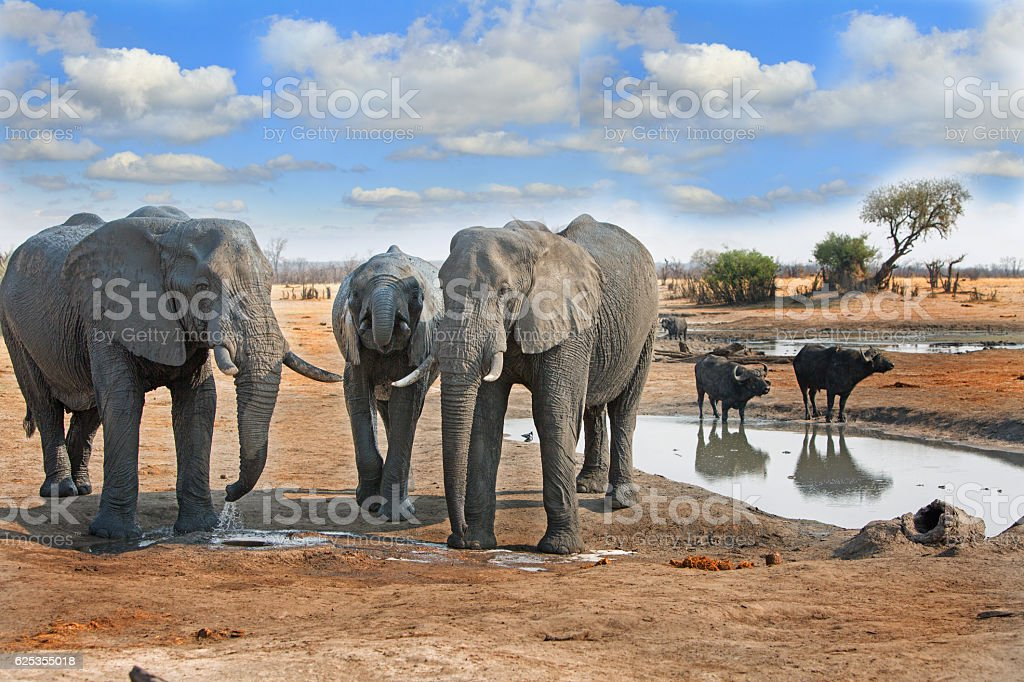 Elephants at a waterhole with buffalo in background stock photo