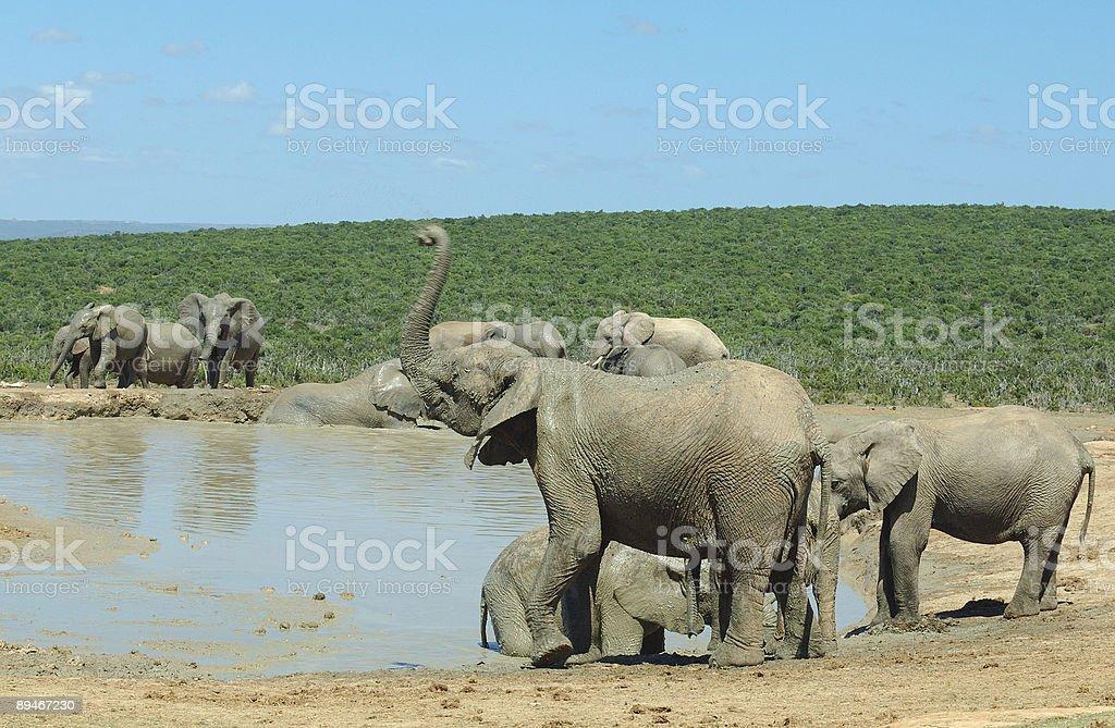 Elephants at Addo Elephant Park stock photo