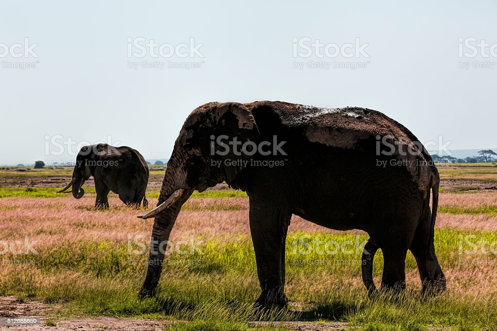 Elephants at Amboseli - backlit stock photo