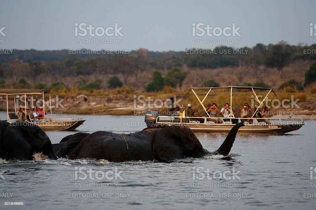 Elephants at Chobe river, Chobe National Park, Botswana stock photo