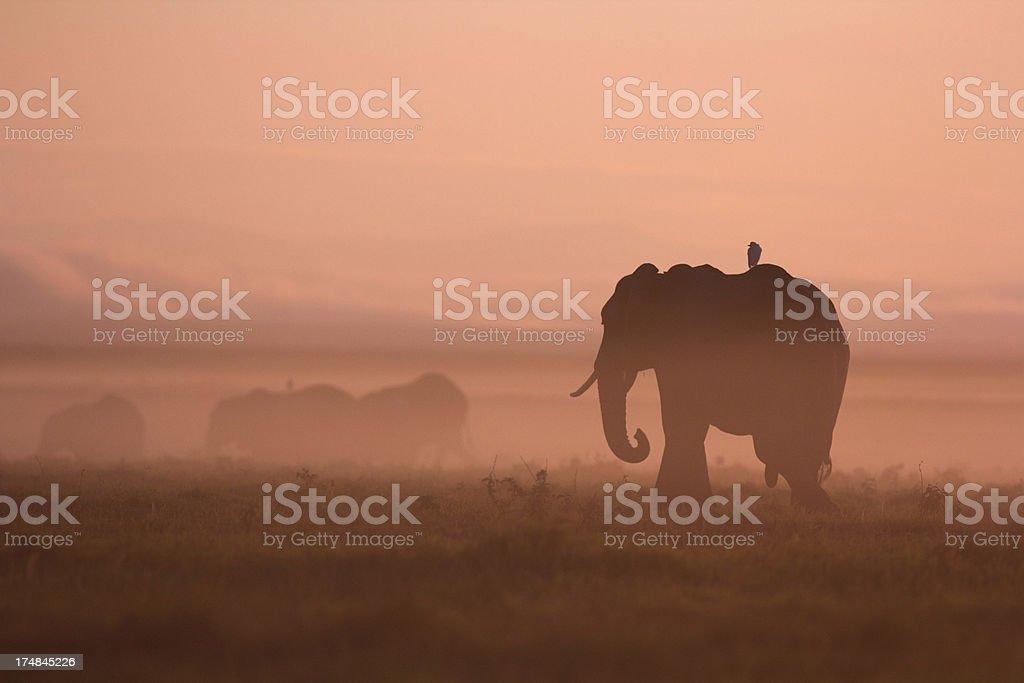 Elephants at dawn stock photo