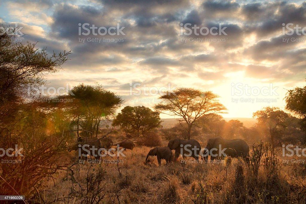 Elephants at dawn, Tanzania stock photo