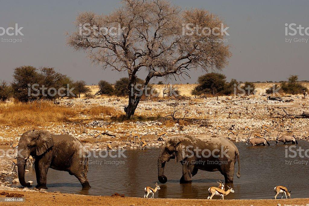 Elephants at Okaukuejo waterhole, Etosha National Park, Namibia stock photo
