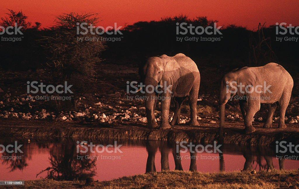 Elephants at sunset, Namibia stock photo