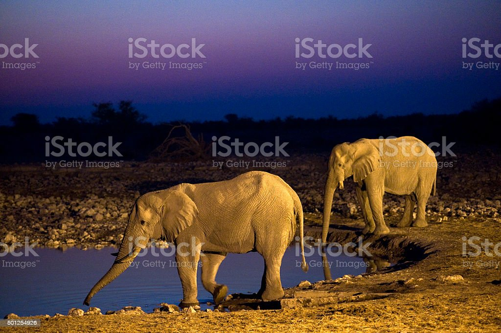 Elephants at sunset, Okaukuejo waterhole, Etosha National Park, Namibia stock photo