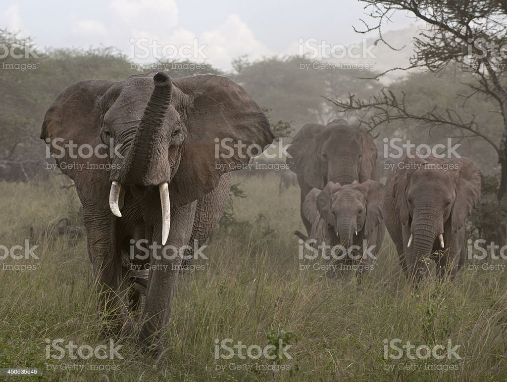 Elephants at the Serengeti National Park, Tanzania, Africa royalty-free stock photo