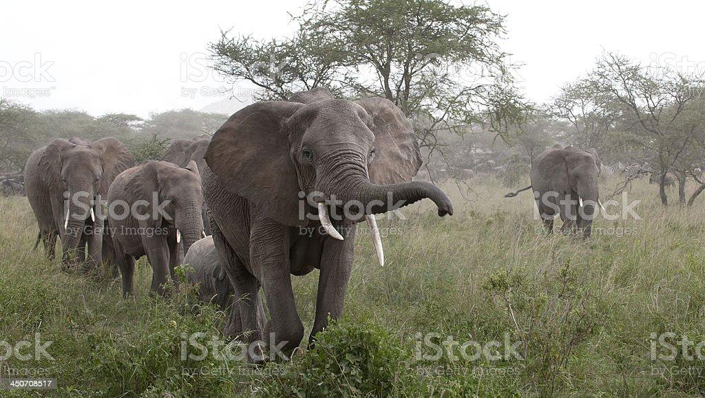 Elephants at the Serengeti National Park, Tanzania, Africa royalty-free stock photo