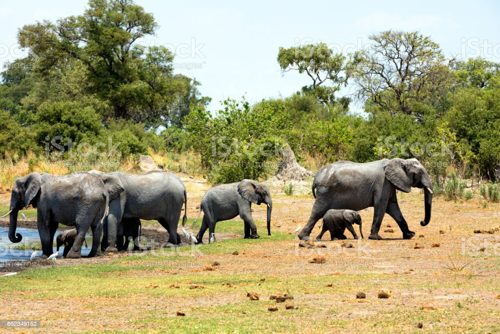 Elephants at waterhole, Botswana stock photo
