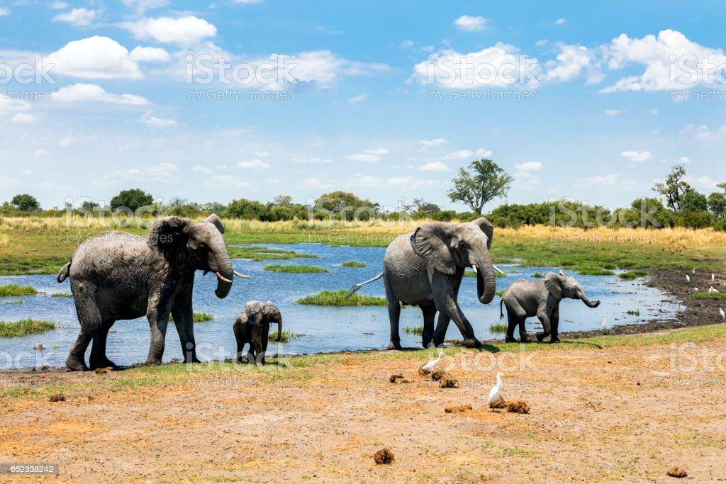 Elephants at waterhole, Chobe, Botswana stock photo
