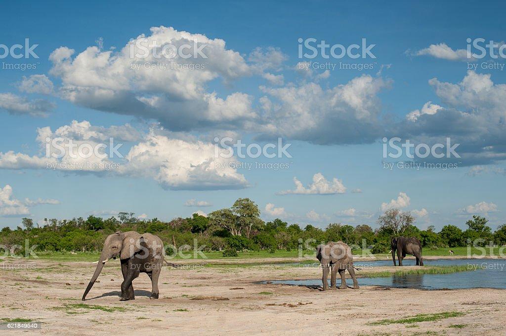 Elephants at waterhole in Botswana Game Reserves stock photo