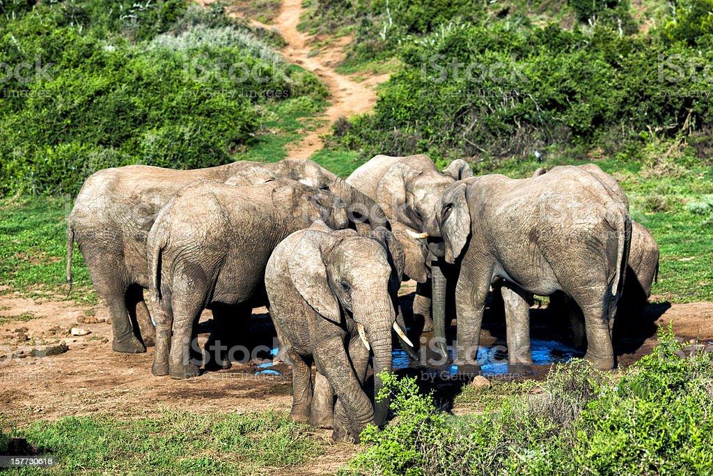 Elephants at waterhole stock photo