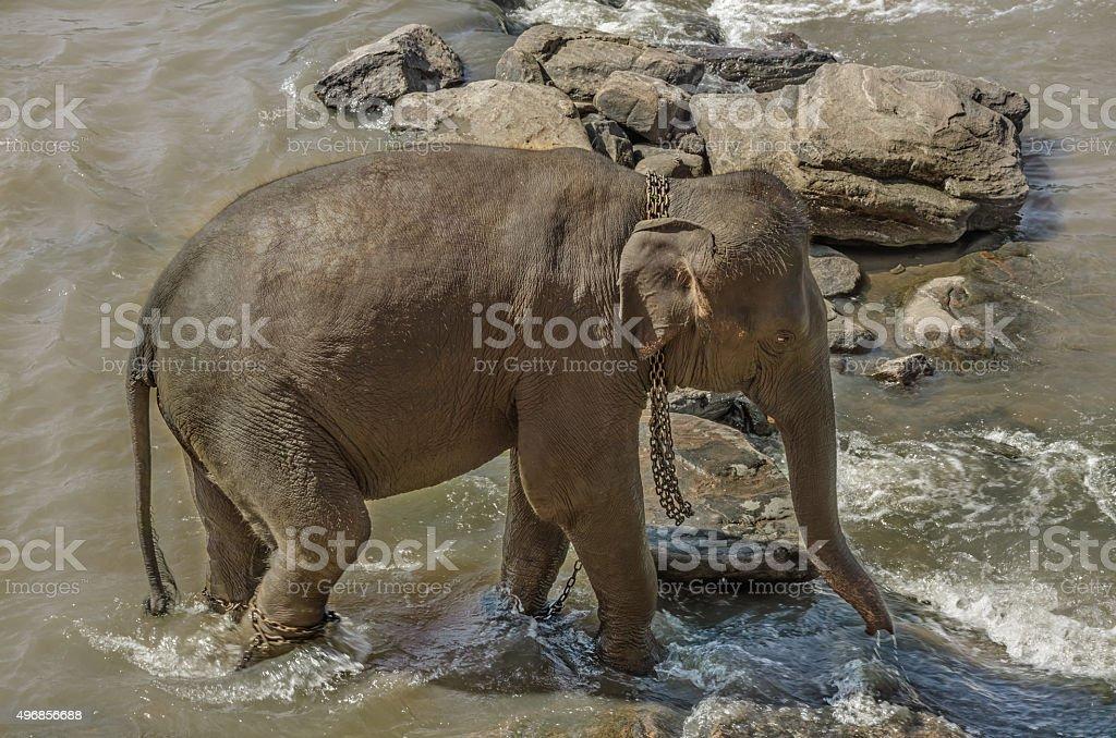 Elephants bathe stock photo